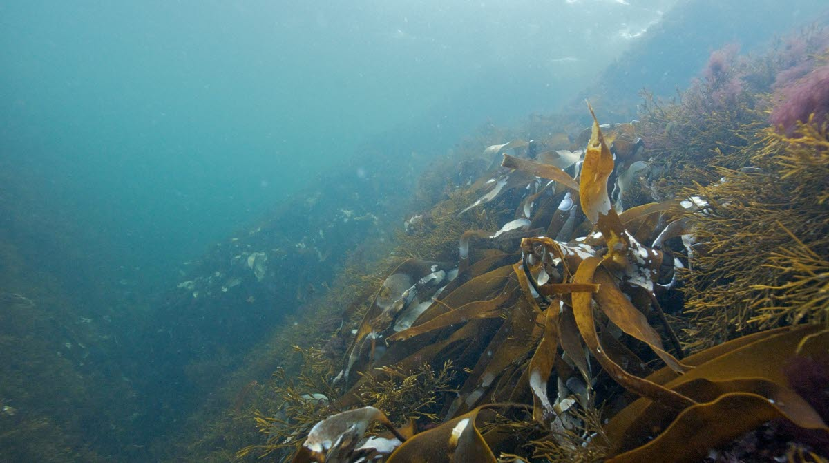 Koster sea under the surface with floating eelgrass
