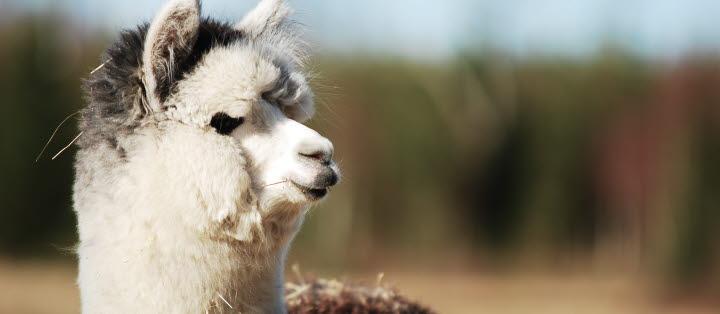 En ullig alpacka.