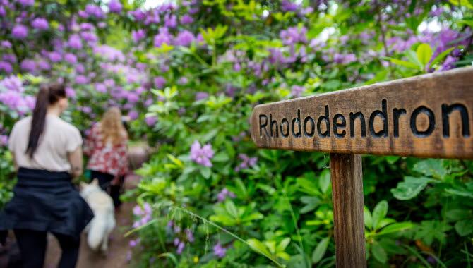 Två kvinnor går in i en tunnel av lila Rhododendronbuskar. I bilden syns också en skylt som säger Rhododendrondalen.