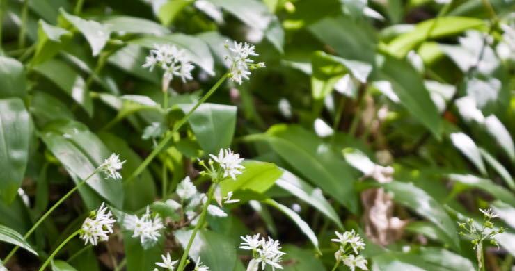 Närbild på ramslök, med gröna blad och vita blommor.