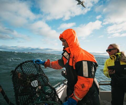Fiskaren slänger i hummertinorna och tjejen intill lär sig hur man gör