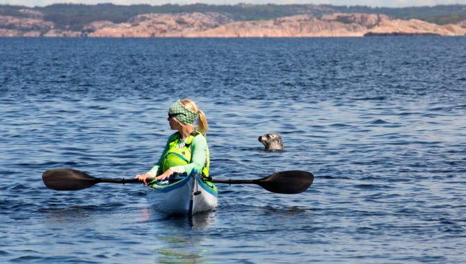 Säl tittar upp ur vattnet bakom kvinna som paddlar kajak