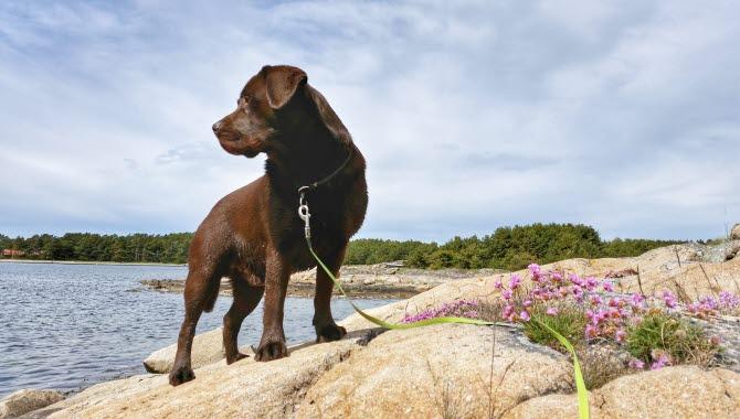 En brun labrador står på en klippa och tittar ut på havet.