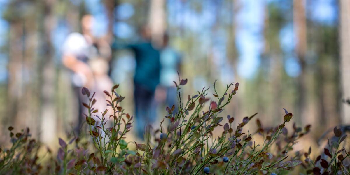 Blåbär i förgrunden. Familj vandrar genom skogen i bakgrunden.