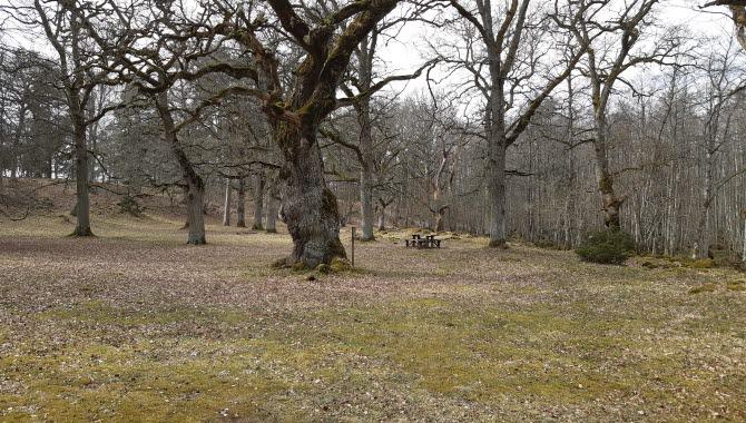 Stor ek och vårgräs  och gamla eklöv på marken.