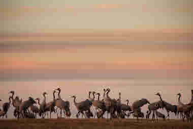 Cranes standing in twilight landscape - Photo Cred Roger Borgelid