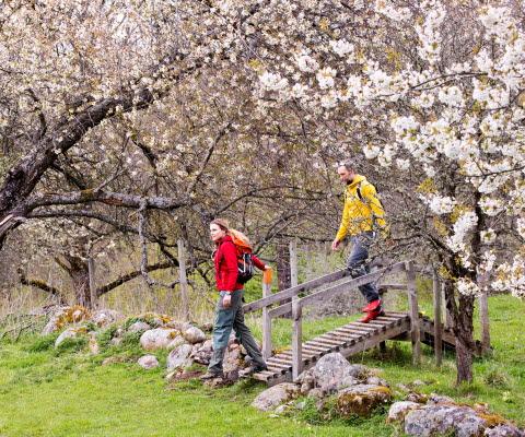 Vandrande par bland blomstrande träd