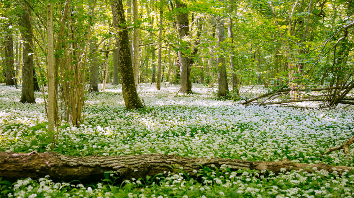 Forest where the ground is full of blooming ramson. An old fallen tree laying among the ramson.