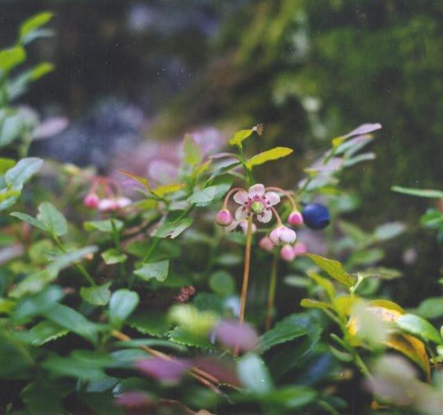 Blommande ryl