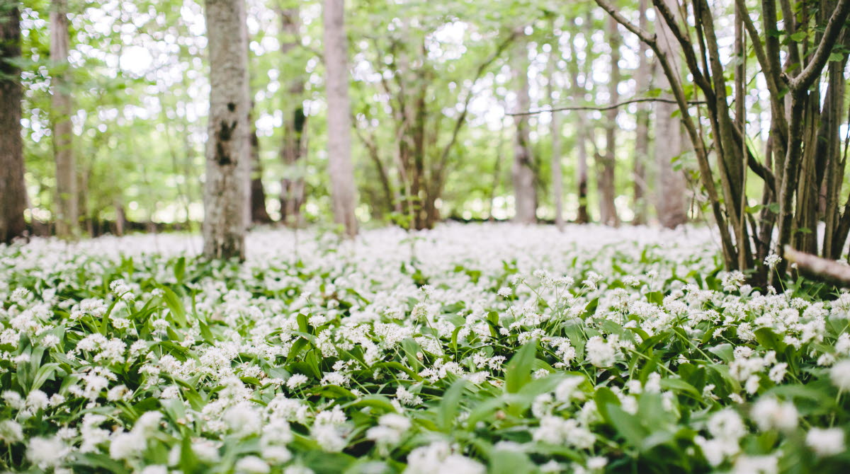 Close up of bunch of white flowers covering the ground.