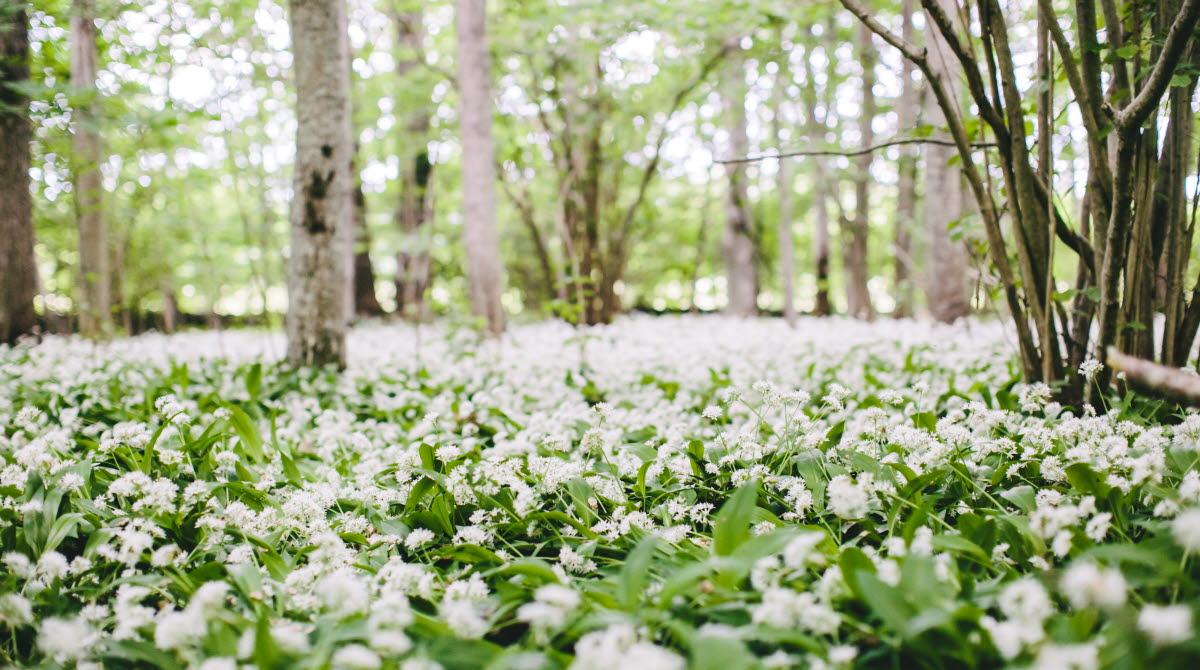 Närbild på massa vita blommor som täcker marken.