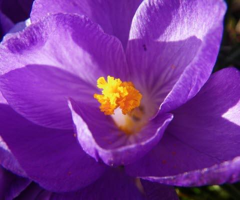 En lila krokus.