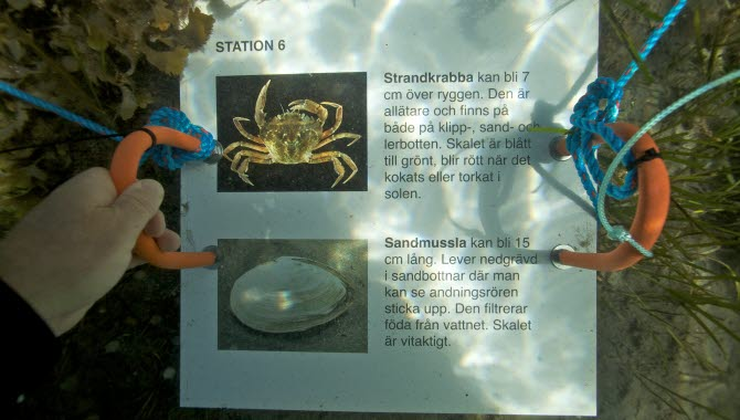 Snorkelled i Kosterhavet. Längst leden finns det stationer under ytan med informationsskyltar.