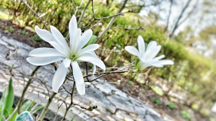 Två vita magnoliablommor i Strömsdalen.