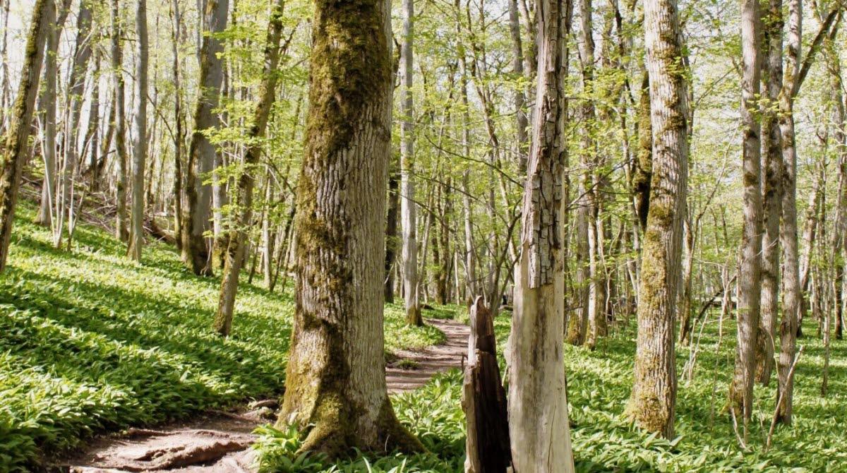 en vår-dag med en stig in i skogen där skogen är fylld med liljekonvaljliknande blad på marken.