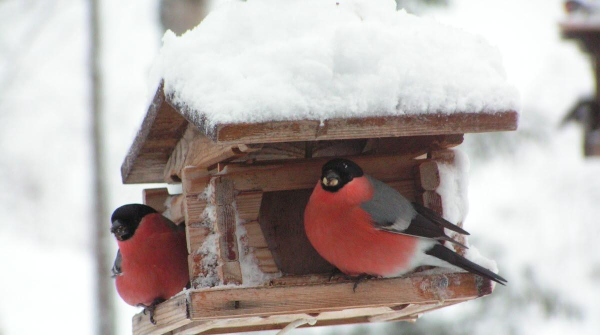 Två domherrar vid fågelbord på vintern.