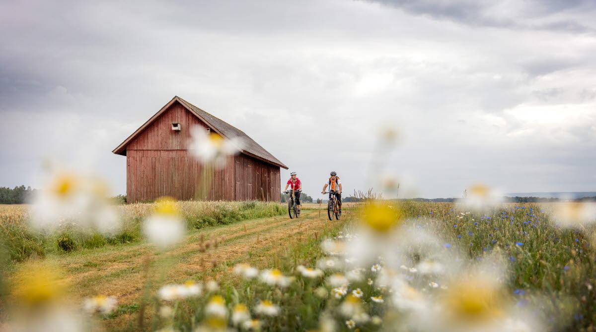 Två personer cyklar på en väg omgivna av fält och blommor