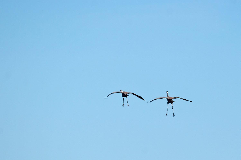 Crane couple going in for landing - Photo Cred Jonas Ingman
