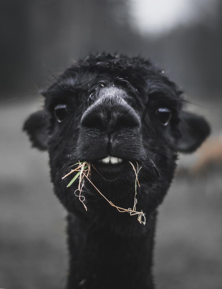 Alpakka- Photo Cred Magnus Dovlind
