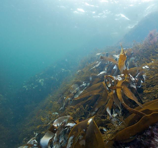 Kosterhavet under ytan med ålgräs
