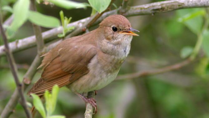 Näktergal som sitter i ett träd. Brun fågel med ljust bröst.