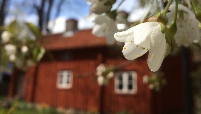 Körsbärsblommor i full blom framför en blå himmel och en gammal röd stuga.