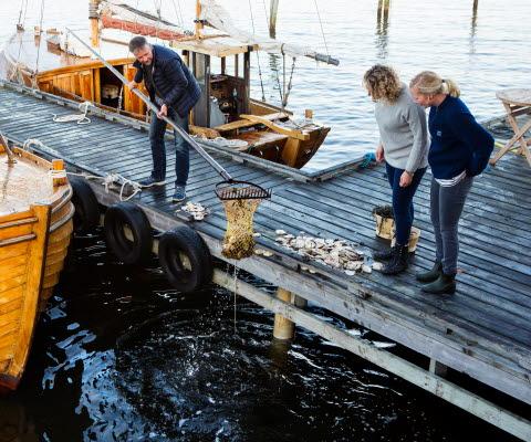 Ostronfiske från brygga i Grebbestad