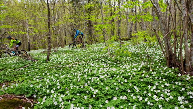 Par cyklar i skogen bland vitsippor