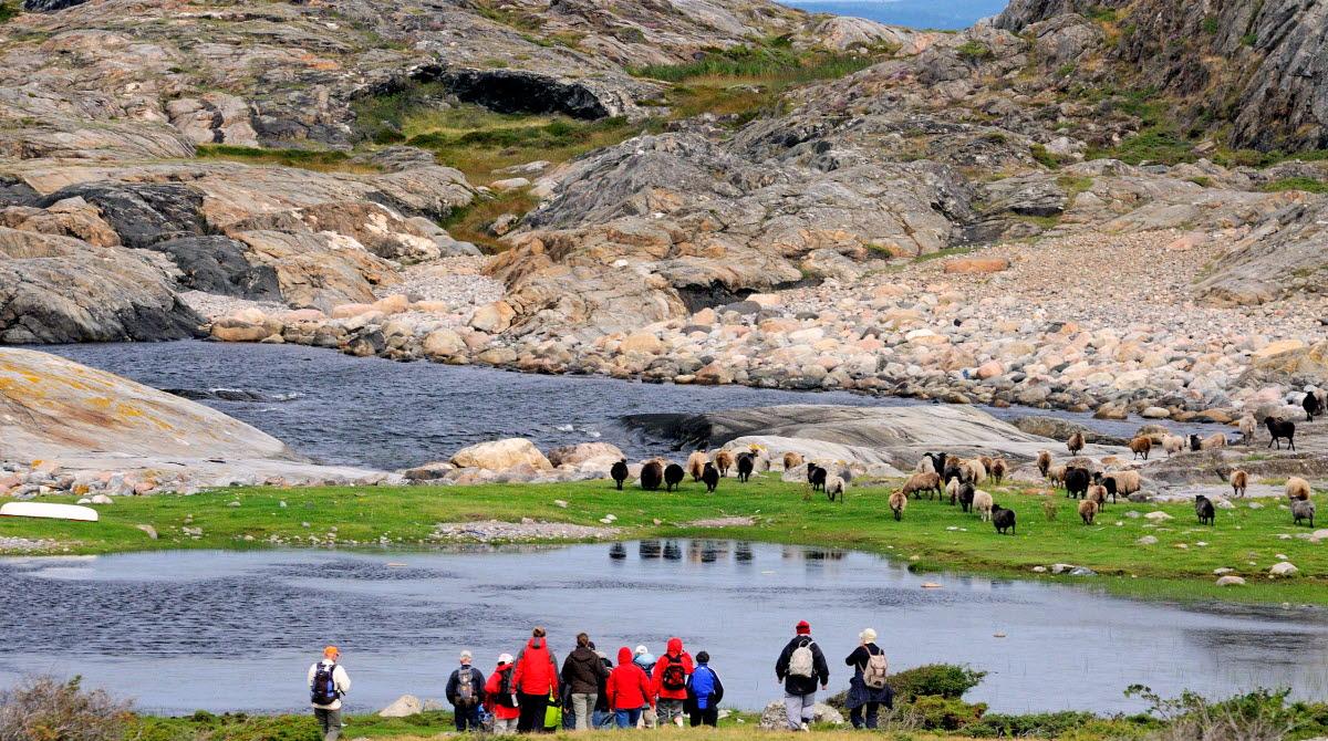 En grupp är ute och vandrar på Nordkoster, de står och tittar mot en flock av får. I bakgrunden syns stora klipphällar och ett klapperstensfält.