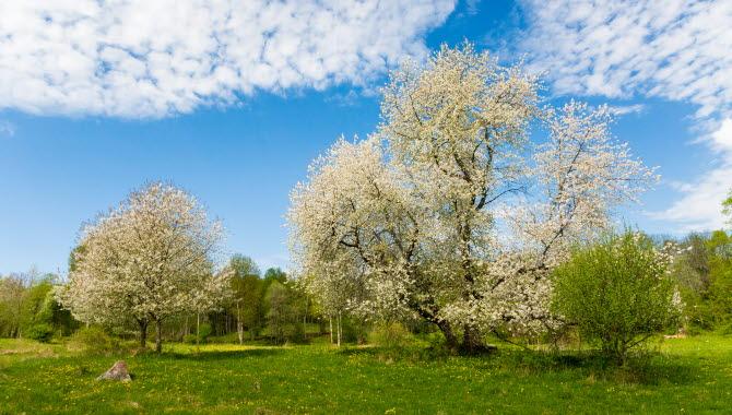 Grön äng med blommande körsbärsträd