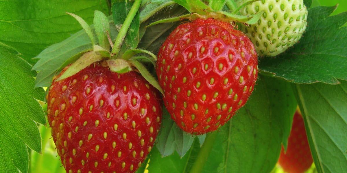 Mogna och omogna jordgubbar i jordgubbslandet.