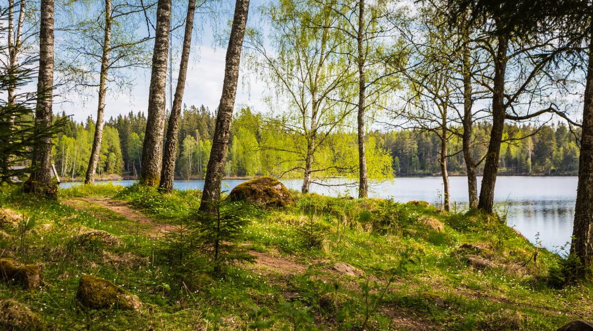 En stig ringlar sig över en kulle genom vitsippor och mossa. Björkarnas löv har slagit ut och i bakgrunden ser man en stilla sjö.