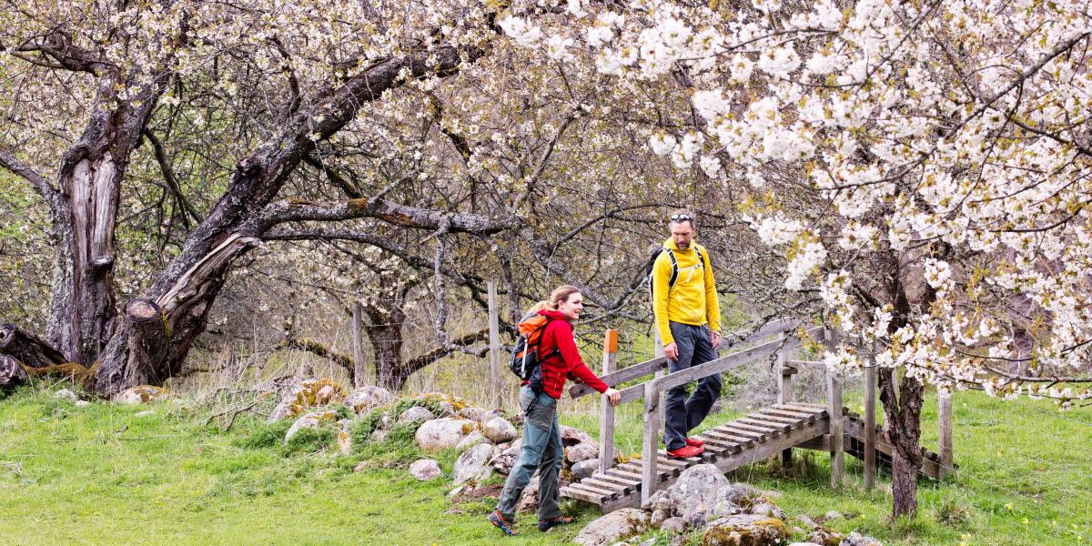 Två vandrare i färgglada kläder går över en färist som går över en stengärdesgård. Runt  omkring dem blommar vita körsbärsblommor.