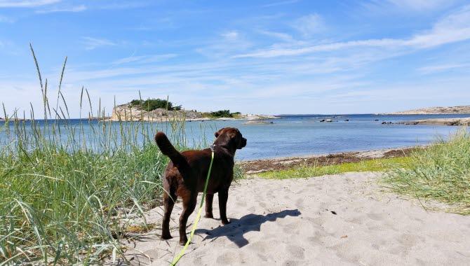 Hund på stranden Saltpannan, Rossö