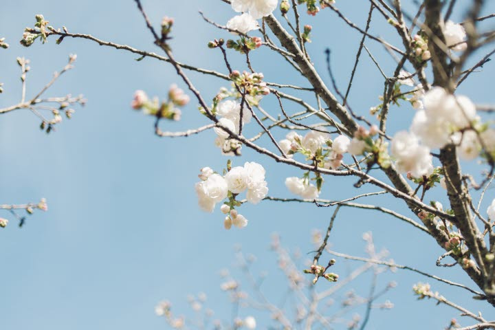 A tree in blossom.