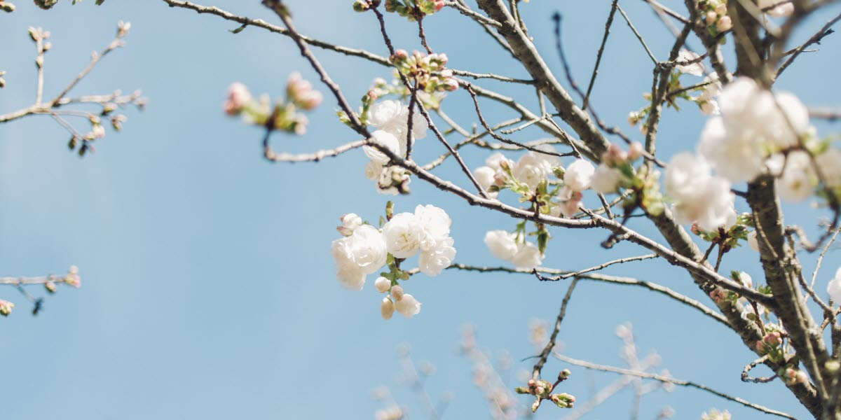 Blommande träd.