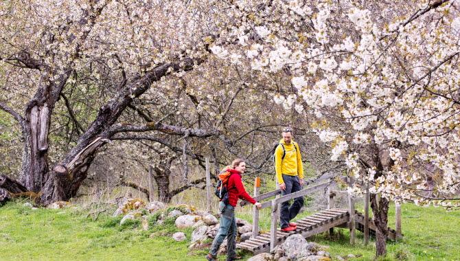 Par vandrar mellan blommande hagar