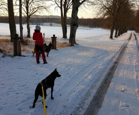 Kvinna på promenad med två hundar på en vintrig väg