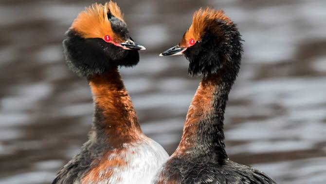 Två svarthakar som står mot varandra i vattnet.
