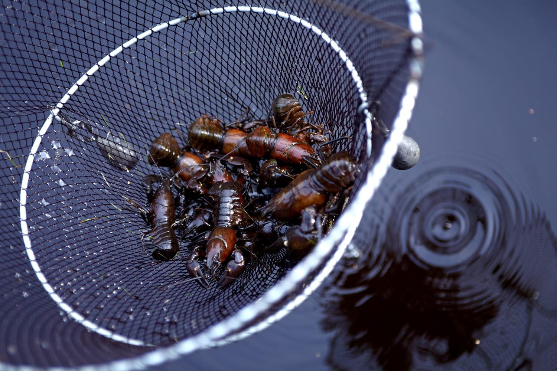 Crayfish net full of crayfish - Photo cred Jonas Ingman