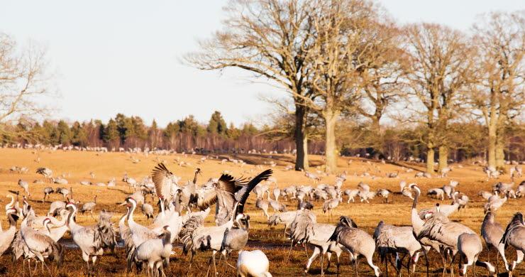 En flock med tranor som går i vårgult gräs.