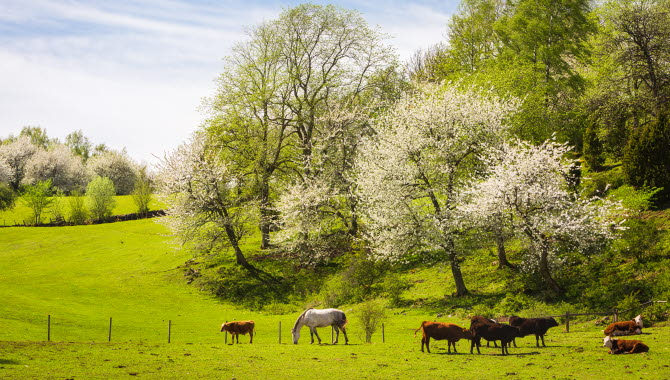 Vackert vårlandskap över en hage med betande kor och blommande körsbärsträd.