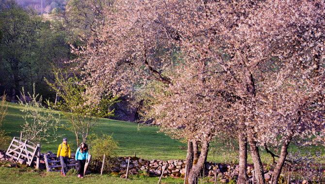Två vandrare i färgglada kläder går under blommande körsbärsträd. Bakom dem syns en låg stenmur.