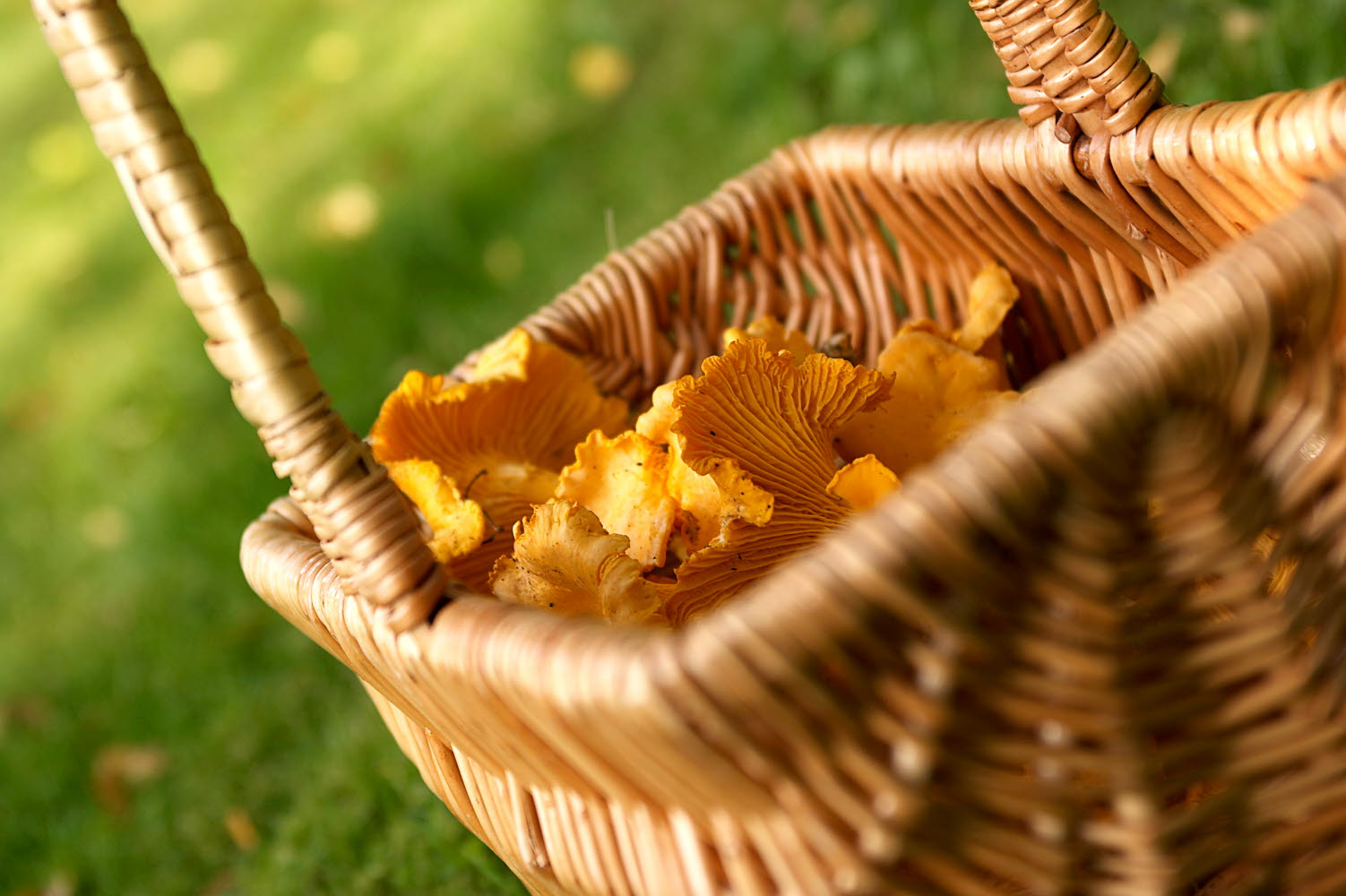 Basket of chanterelles - Photo cred Jonas Ingman