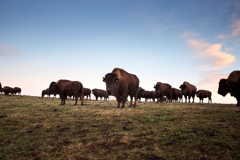 Buffalos at Wrågården - Photo Jonas Ingman (1).jpg