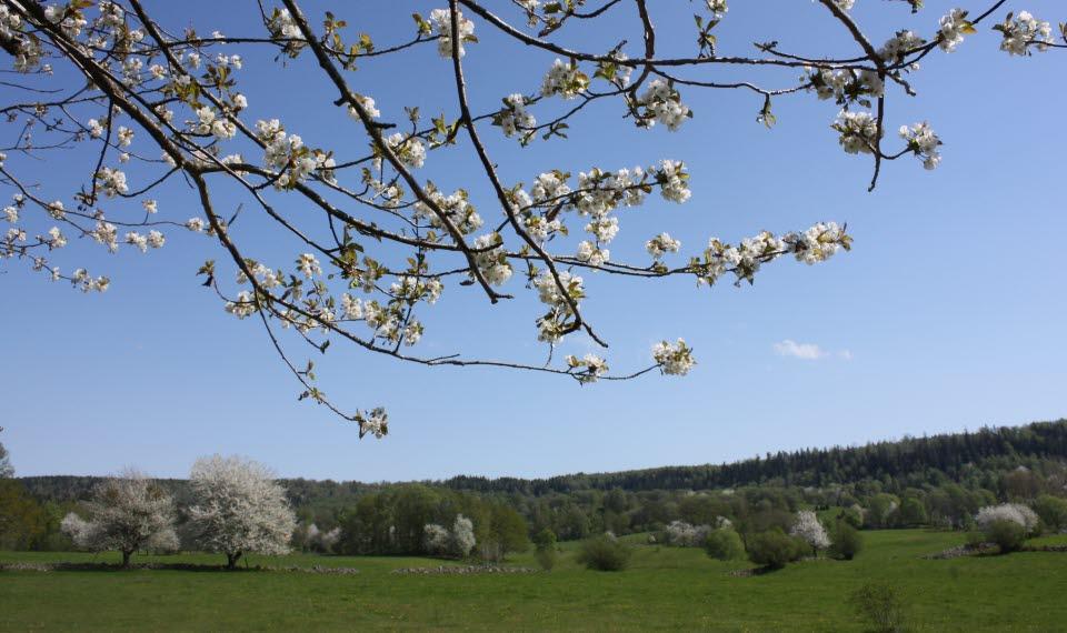 Körsbärsblom i Valle