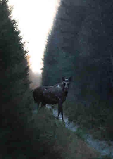 Elk- Photo Cred Magnus Dovlind