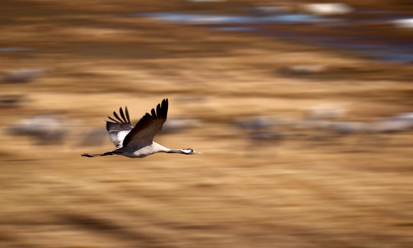 Crane flying - Photo Jonas Ingman - M2B AB.jpg