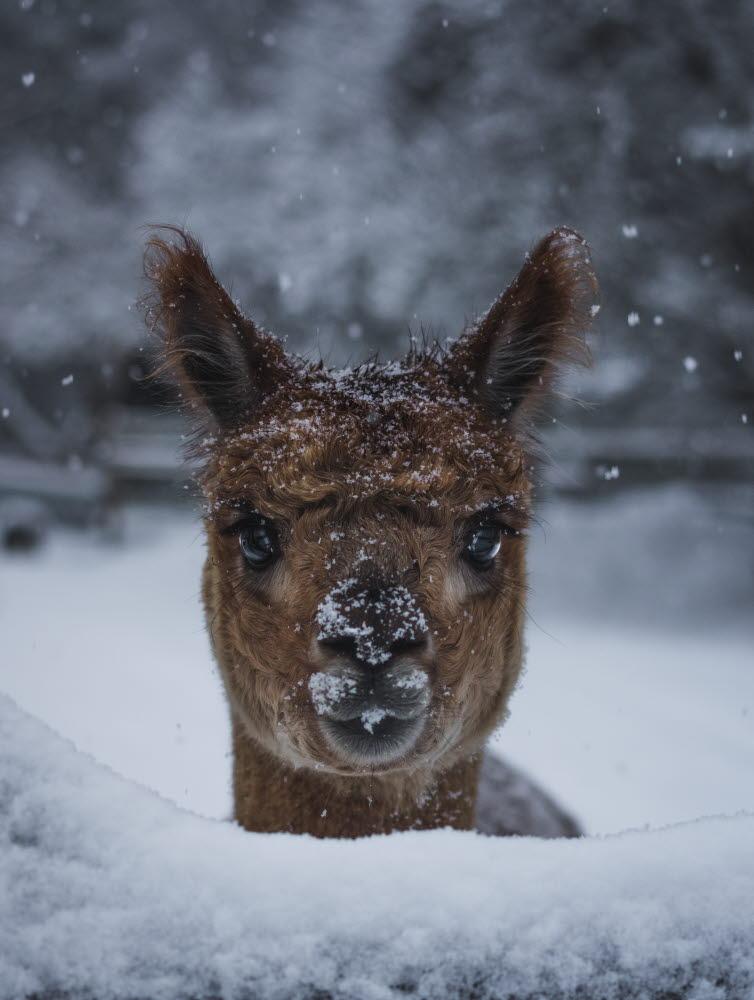 Alpacka brown snow- Photo Cred Magnus Dovlind
