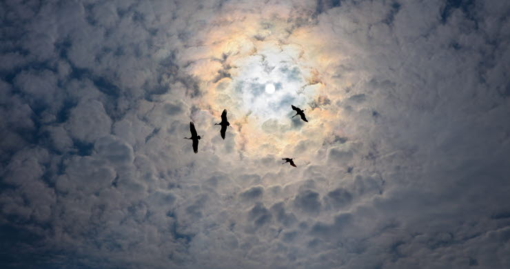 Cranes flying in front of mass of clouds and dark sky.